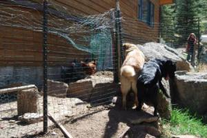 Fencing is needed when dogs and chickens first come together